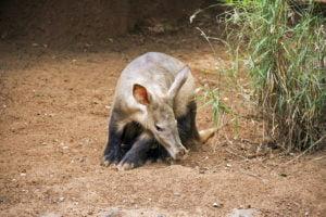 młody mrównik afrykański w zoo, na tle naturalnym